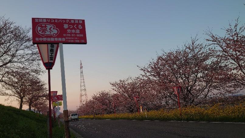 大河津分水の桜と菜の花_b0237229_18203448.jpg