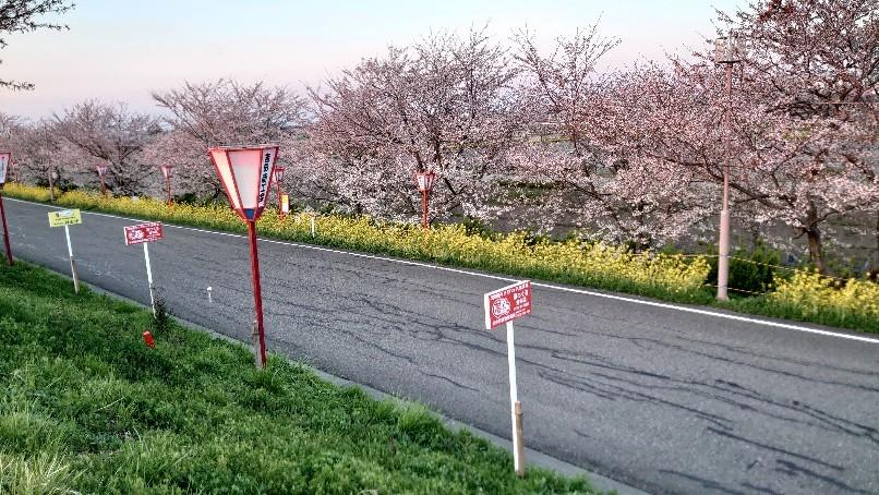 大河津分水の桜と菜の花_b0237229_18203480.jpg