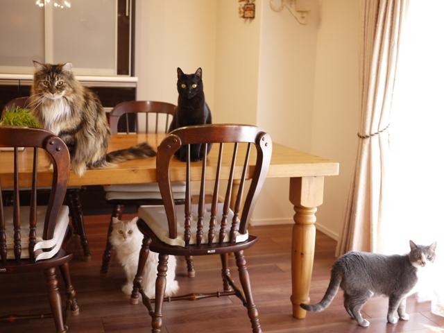 猫のお留守番 天ちゃん麦くん茶くん〇くんAoiちゃん編。_a0143140_22381647.jpg