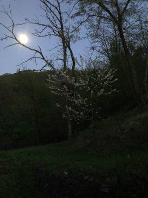 野草のニラ餃子と満月と桜_d0136540_04472749.jpg