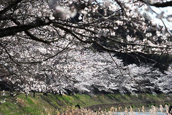 見る人がいなくても桜は咲きます_e0022047_22444880.jpg
