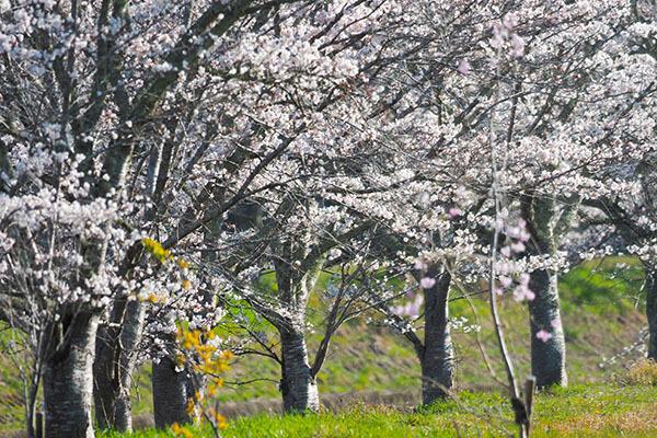 見る人がいなくても桜は咲きます_e0022047_22450601.jpg