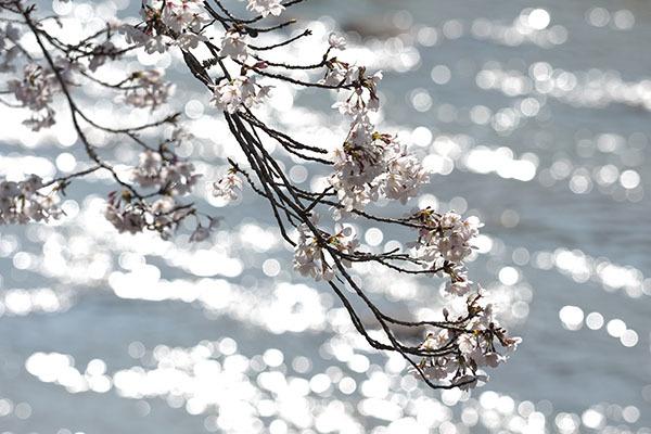 見る人がいなくても桜は咲きます_e0022047_22452571.jpg