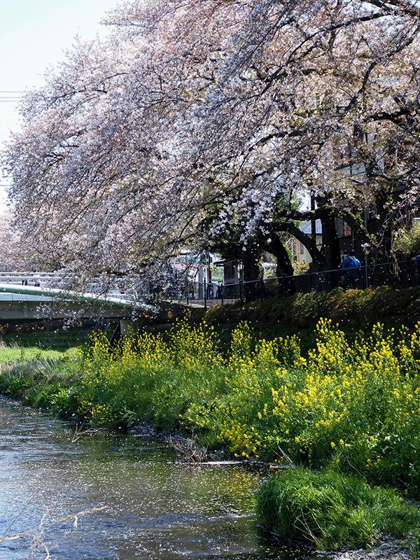 近所の桜_a0003650_22045658.jpg