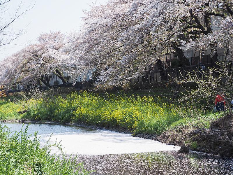 近所の桜_a0003650_22070503.jpg