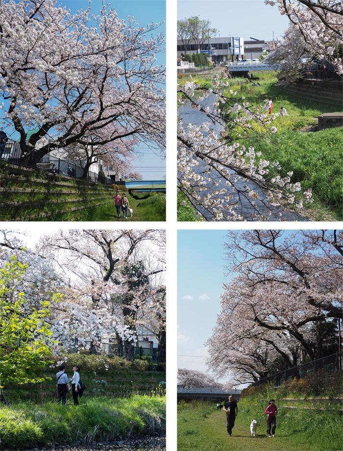 近所の桜_a0003650_22105496.jpg