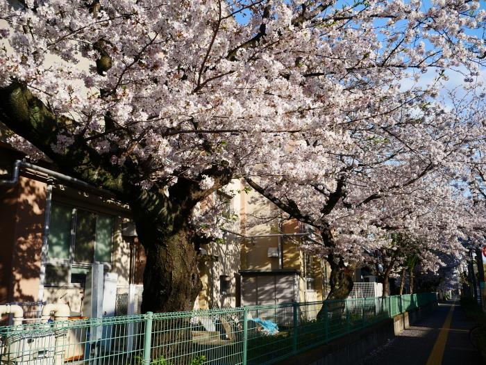 校庭に咲く桜  2020-04-09 00:00   _b0093754_21451993.jpg