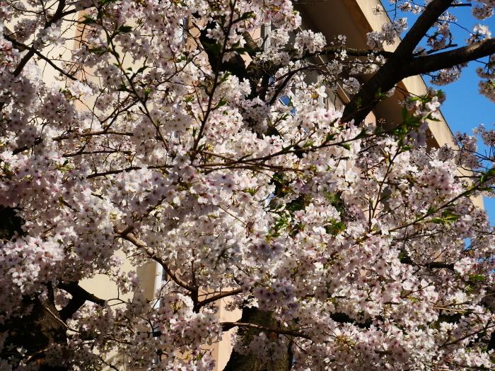 校庭に咲く桜  2020-04-09 00:00   _b0093754_21454314.jpg