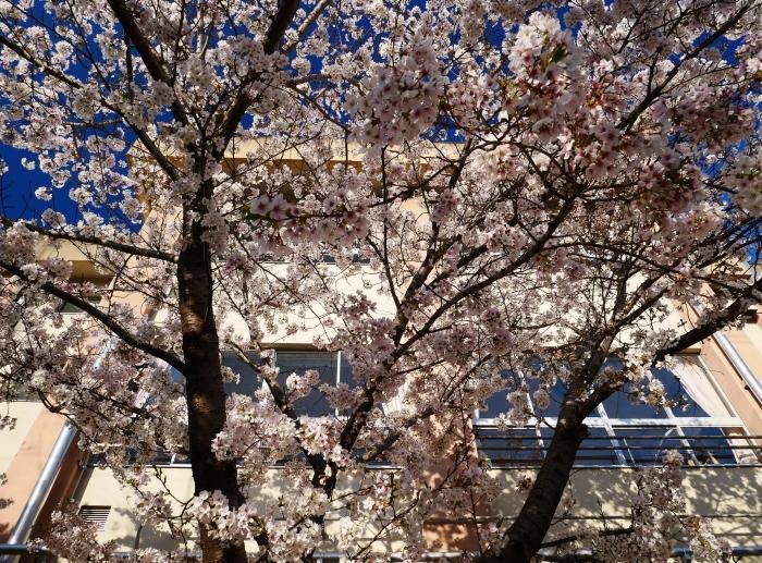 校庭に咲く桜  2020-04-09 00:00   _b0093754_21455520.jpg