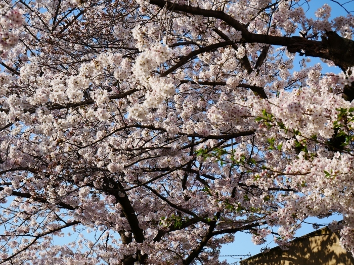校庭に咲く桜  2020-04-09 00:00   _b0093754_21470341.jpg