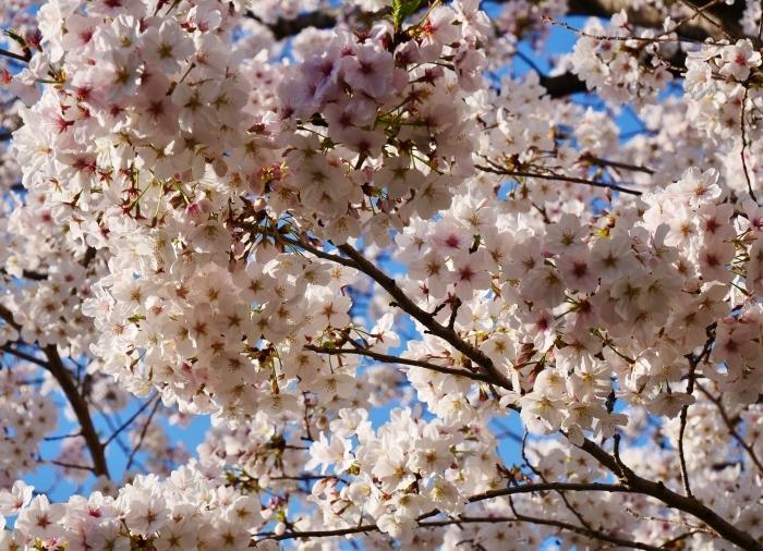 校庭に咲く桜  2020-04-09 00:00   _b0093754_21471567.jpg