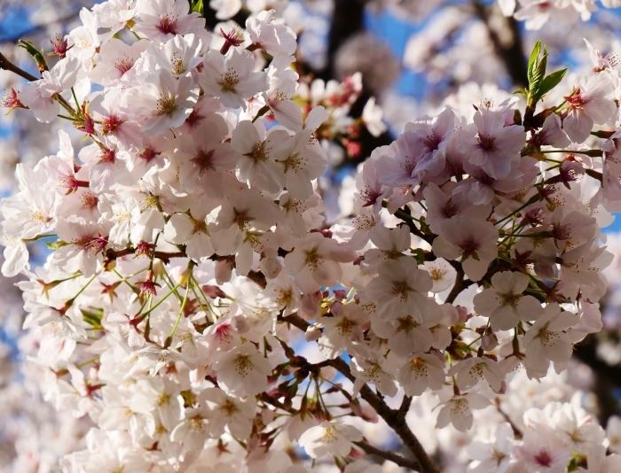 校庭に咲く桜  2020-04-09 00:00   _b0093754_21472540.jpg