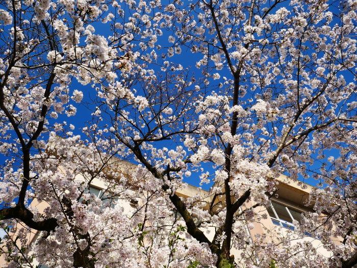 校庭に咲く桜  2020-04-09 00:00   _b0093754_21473614.jpg