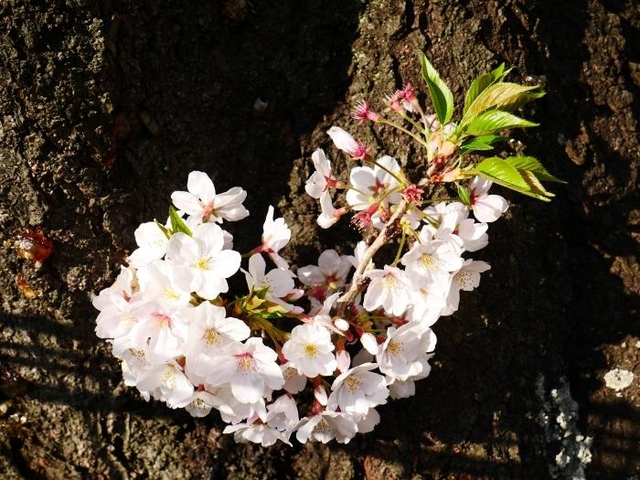 校庭に咲く桜  2020-04-09 00:00   _b0093754_21474666.jpg