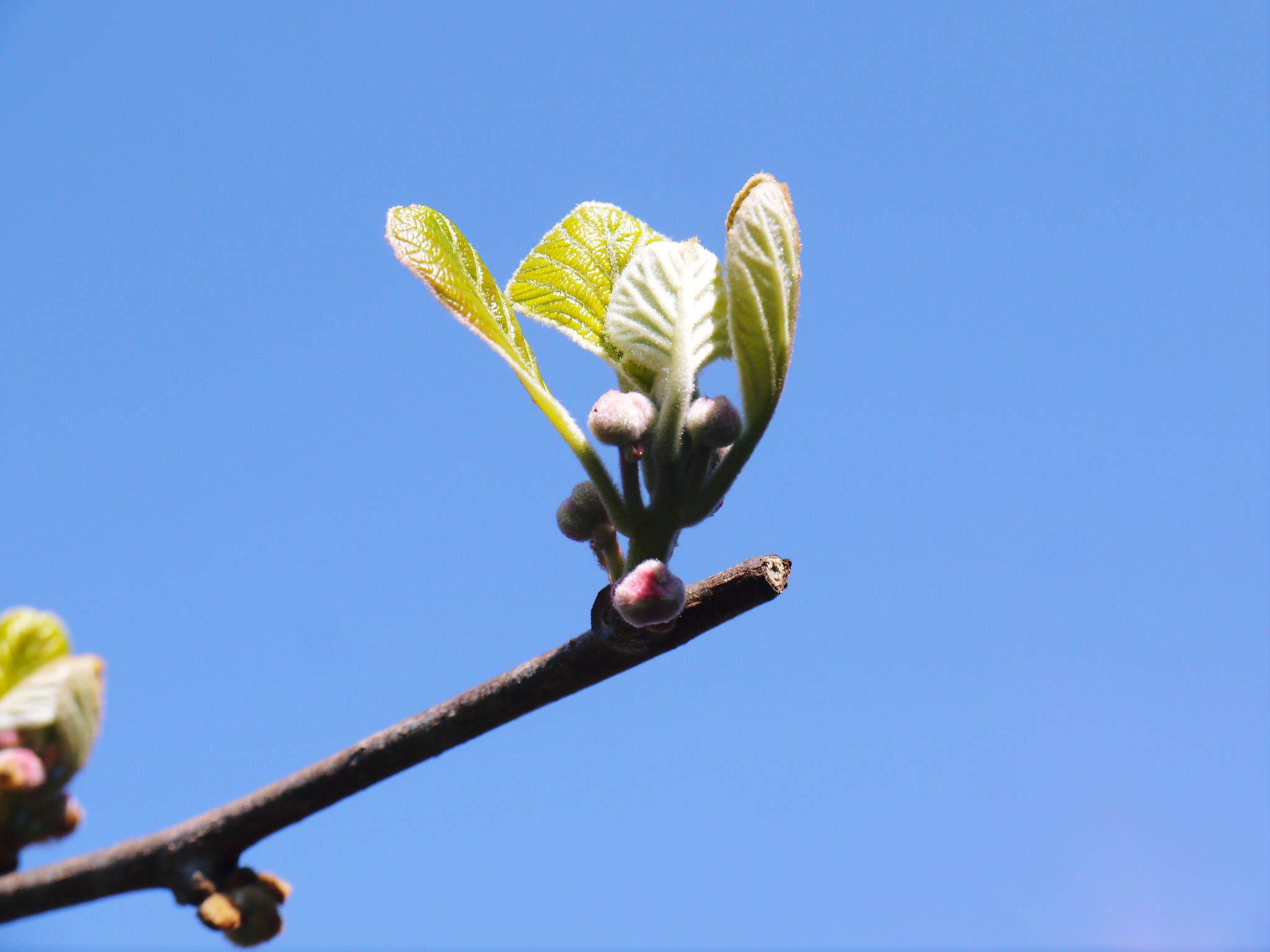 キウイの芽吹き(2020) 今年も完全無農薬、無化学肥料で育てます!_a0254656_16572099.jpg