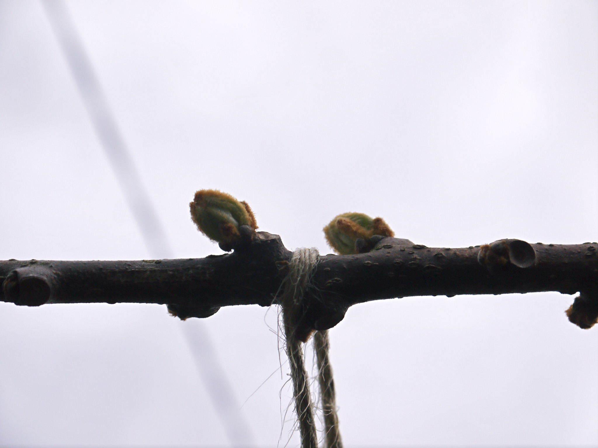 キウイの芽吹き(2020) 今年も完全無農薬、無化学肥料で育てます!_a0254656_17064418.jpg
