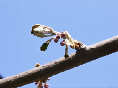 キウイの芽吹き(2020) 今年も完全無農薬、無化学肥料で育てます!_a0254656_17512243.jpg
