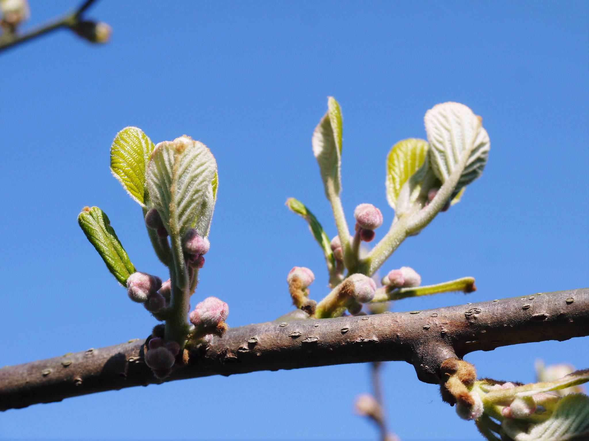 キウイの芽吹き(2020) 今年も完全無農薬、無化学肥料で育てます!_a0254656_17565308.jpg