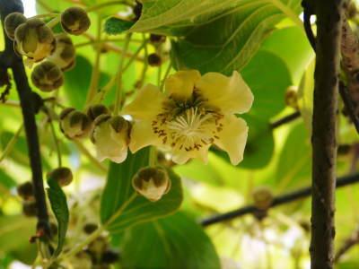 キウイの芽吹き(2020) 今年も完全無農薬、無化学肥料で育てます!_a0254656_18000898.jpg