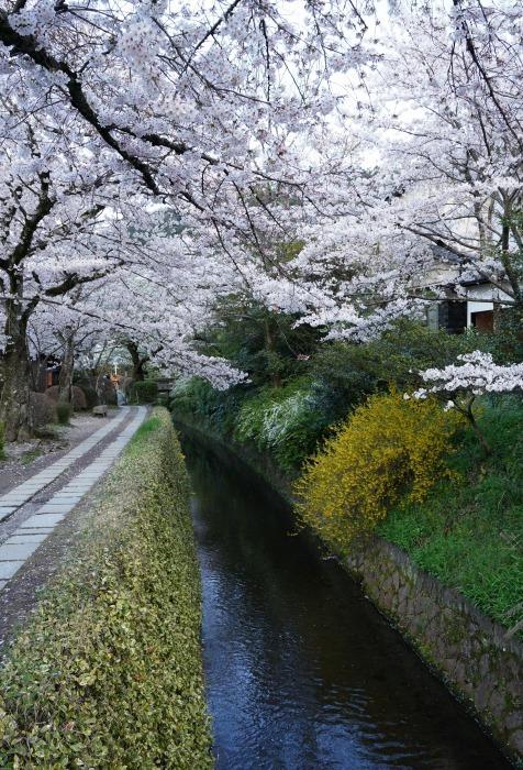 京都桜開花状況(4月2日)哲学の道_b0173867_21195578.jpg