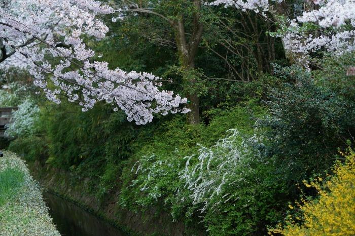 京都桜開花状況(4月2日)哲学の道_b0173867_21201925.jpg
