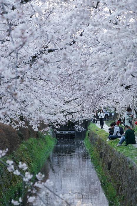 京都桜開花状況(4月2日)哲学の道_b0173867_21205048.jpg