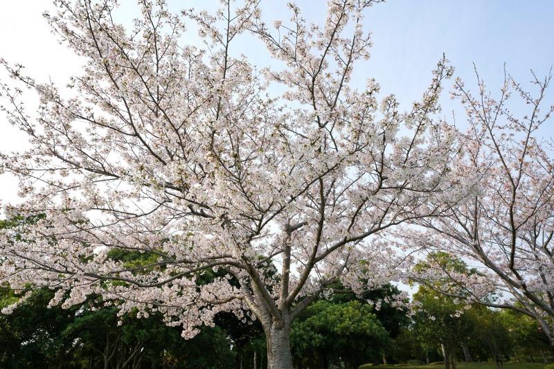 富浜緑地 満開を迎えたさくらの紹介R2.4.3_d0338682_09010959.jpg