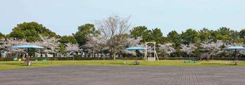 富浜緑地 満開を迎えたさくらの紹介R2.4.3_d0338682_09012848.jpg