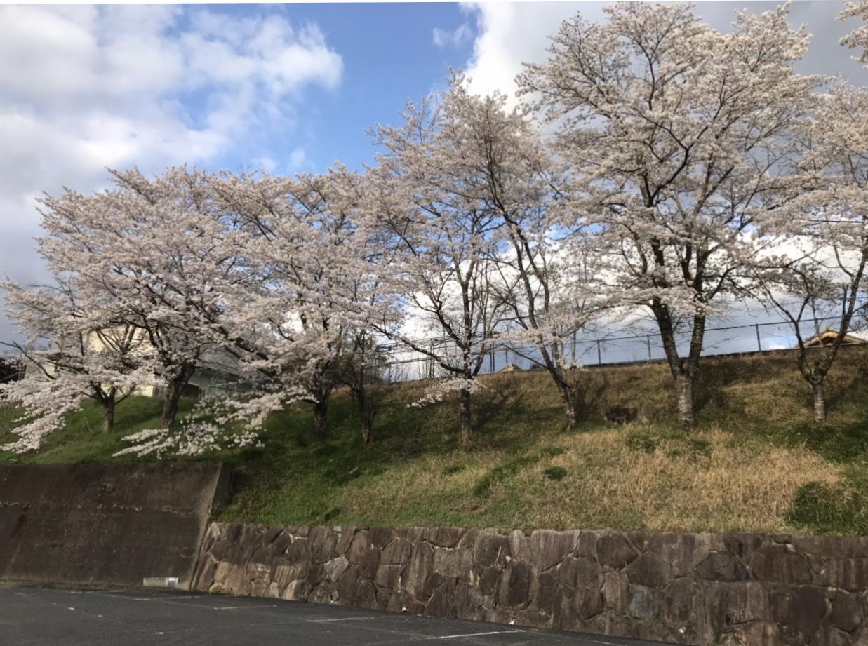 桜が綺麗です_b0091783_07004064.jpeg