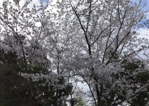 桜が綺麗です_b0091783_07011964.jpeg