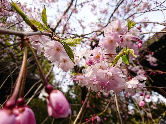 すだれ桜_b0369993_15224882.jpg