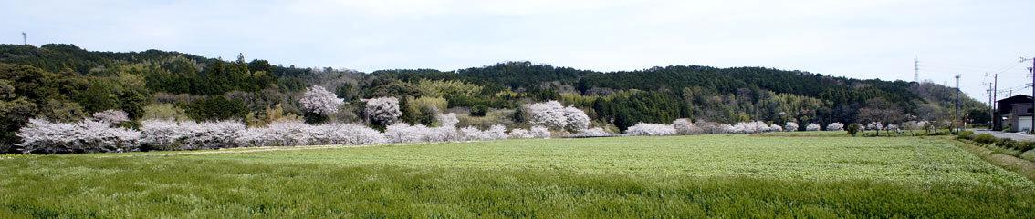 幅広く桜を楽しもう_b0145296_14141708.jpg