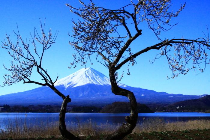 令和2年3月の富士 (29) 河口湖の梅と富士_e0344396_09570030.jpg