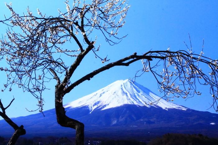 令和2年3月の富士 (29) 河口湖の梅と富士_e0344396_09570120.jpg