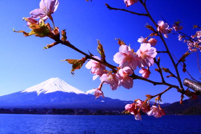 令和2年3月の富士 (29) 河口湖の梅と富士_e0344396_09570133.jpg