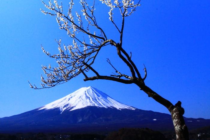 令和2年3月の富士 (29) 河口湖の梅と富士_e0344396_09570149.jpg