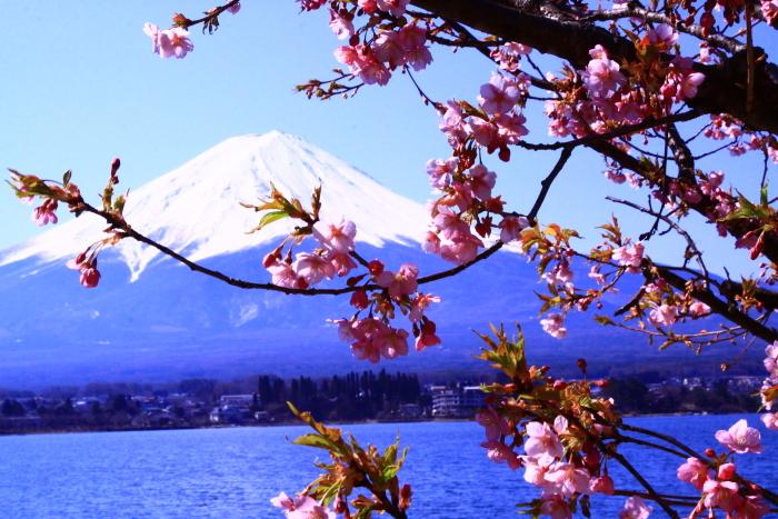 令和2年3月の富士 (29) 河口湖の梅と富士_e0344396_09570178.jpg