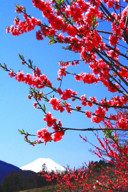 令和2年3月の富士 (30) 上野原の花桃の里の富士_e0344396_20420581.jpg