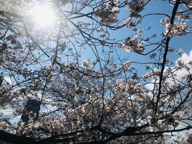 毎日桜。_a0050302_23562222.jpg