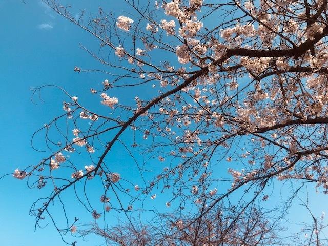 毎日桜。_a0050302_23570169.jpg