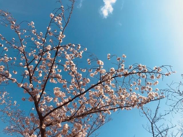 毎日桜。_a0050302_23570973.jpg