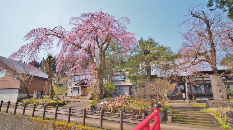 千手院の枝垂れ桜 ②_c0336902_20313792.jpg