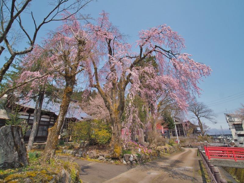 千手院の枝垂れ桜 ②_c0336902_20314583.jpg