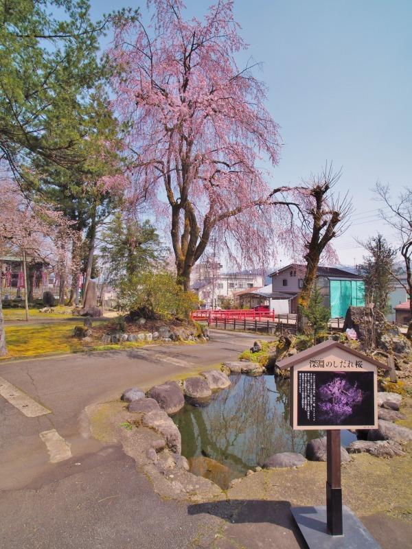 千手院の枝垂れ桜 ②_c0336902_20315449.jpg