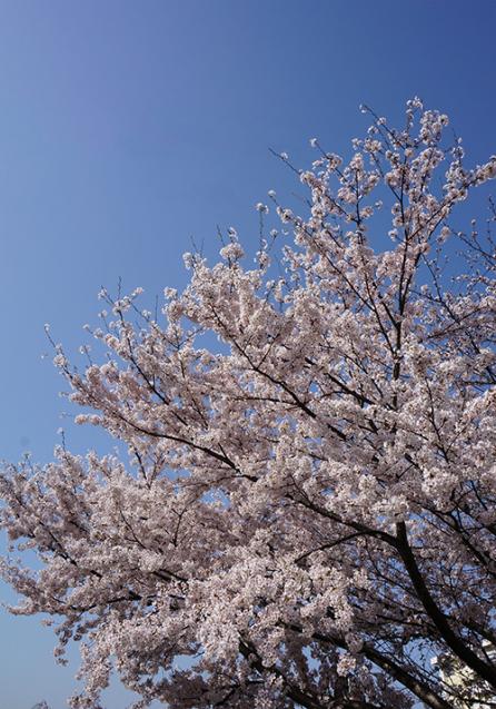 桜_d0321904_16554856.jpg