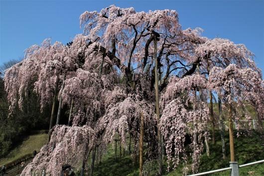 三春の滝桜_d0114414_14015035.jpg