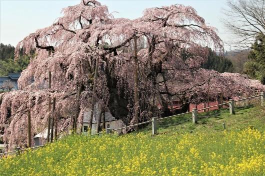 三春の滝桜_d0114414_14024190.jpg