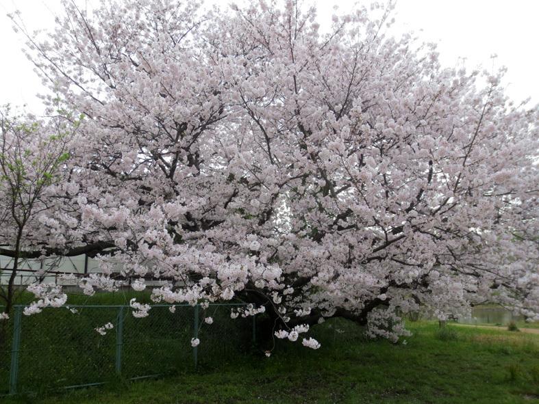 ■柄にもなく桜見物ウォーキング──週替わりの夕暮れ[4/2-5]_d0190217_01065342.jpg