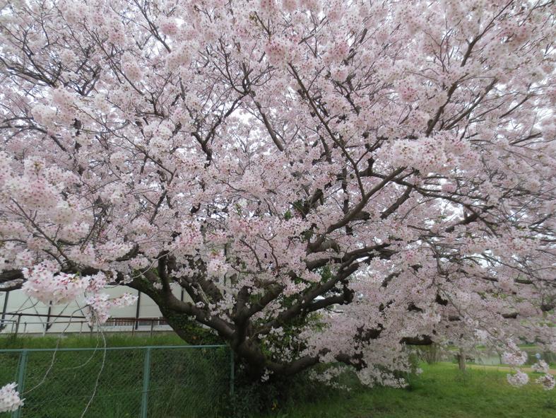 ■柄にもなく桜見物ウォーキング──週替わりの夕暮れ[4/2-5]_d0190217_01084512.jpg