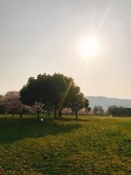 今日の桜_a0059035_12395134.jpg